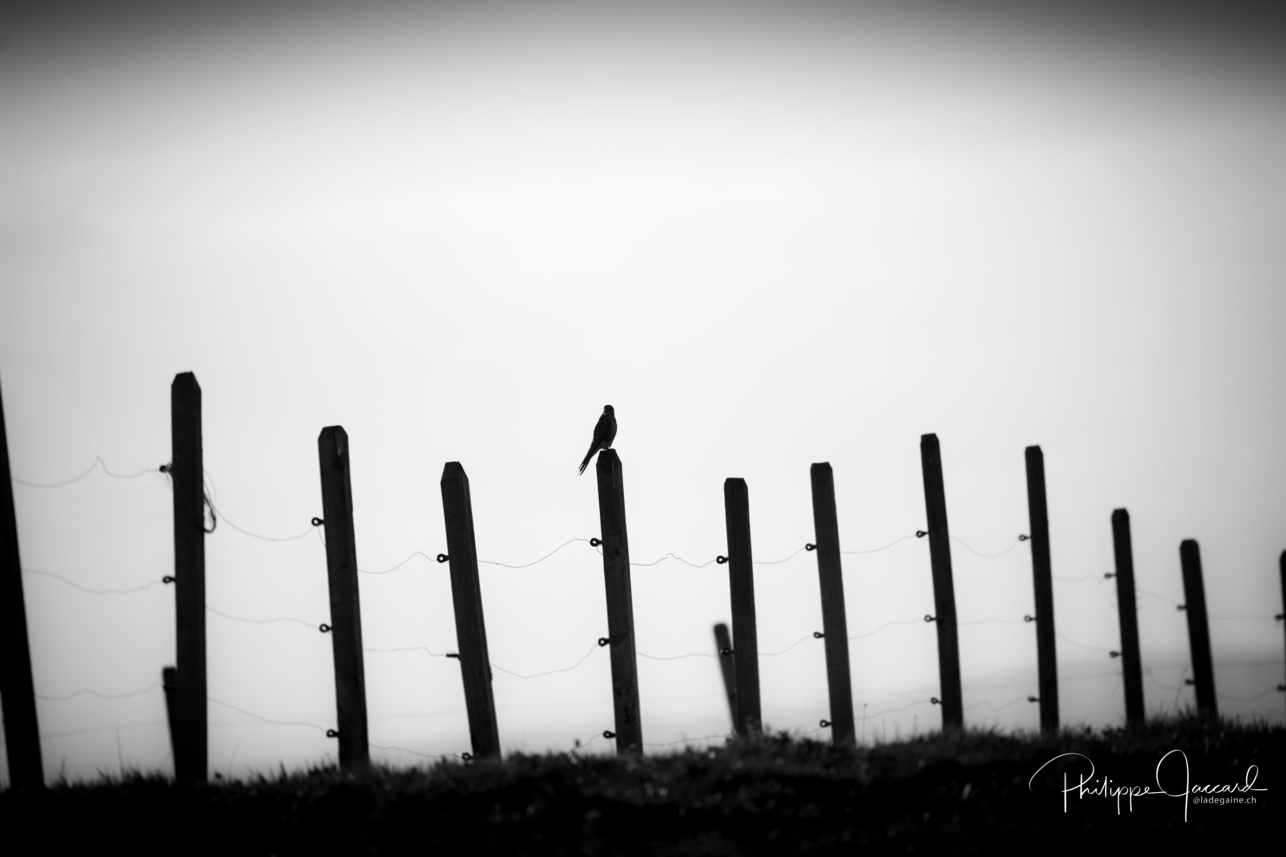 Faucon crécerelle en chasse @ près de chez moi par Philippe Jaccard