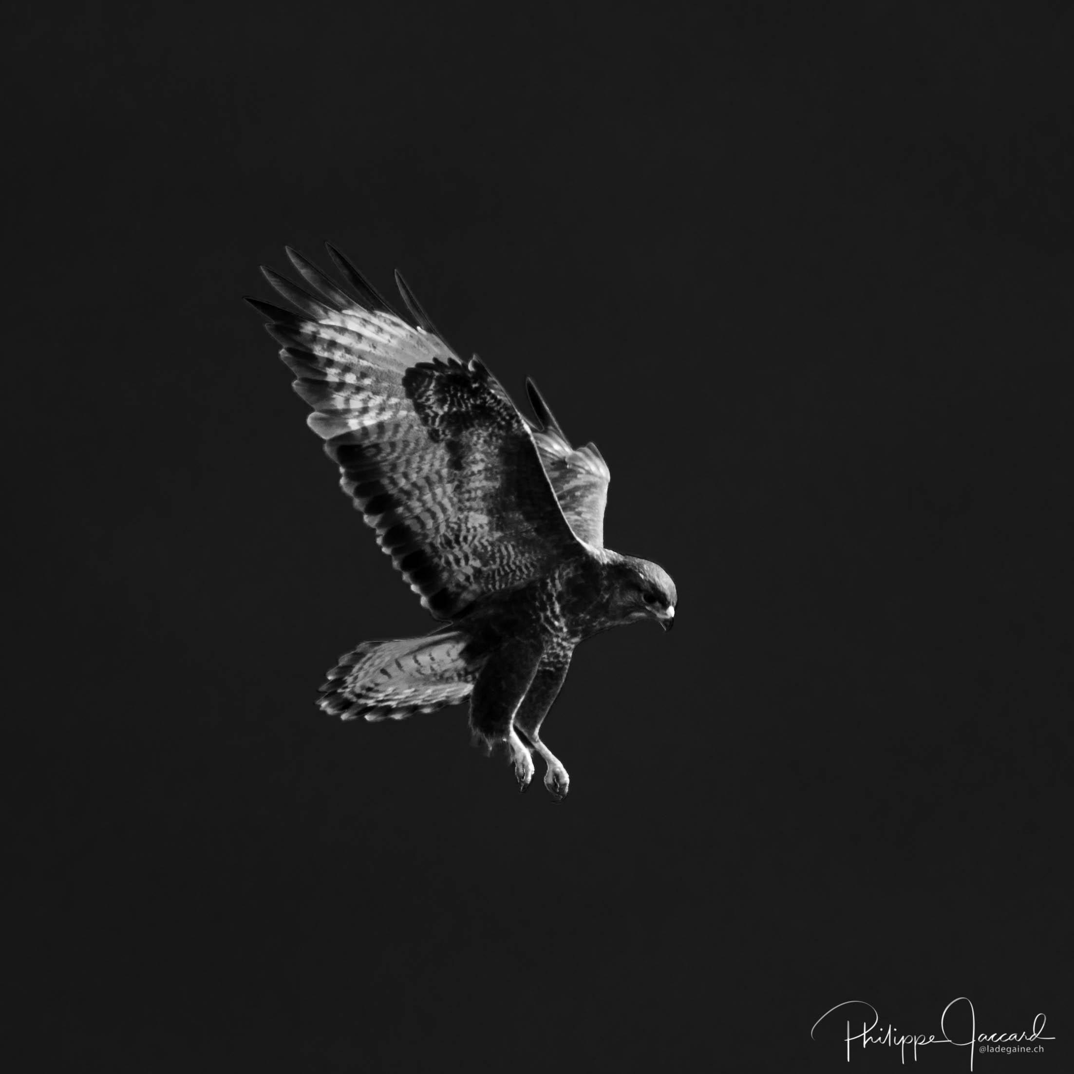 Cette buse joue aux faucons pour s'immobiliser au-dessus de sa proie potentielle @ près de chez moi – Buse en vol stationnaire par Philippe Jaccard